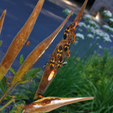 Milkweed Bugs in Various Stages