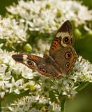 IMG_1634 Common Buckeye Butterfly - junonia coenia
