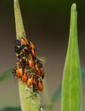 IMG_1750 They call milkweed bugs gregarious