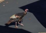 PB260025 Strutting turkey