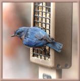 SIL70031 Bluebird