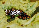 Harlequin Bug Hatchlings