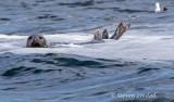 Grey Seal off the Farne Islands