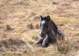 Dartmoor Pony Foal