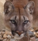 Puma or Mountain Lion