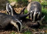Badgers