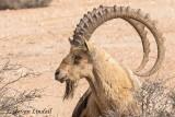 Ibex (Male)