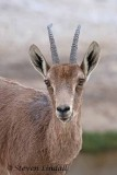 Ibex (Female)