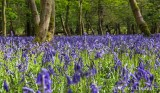 Bluebells at Ashridge