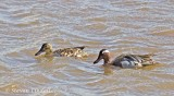Garganey Pair