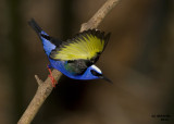 Red-legged Honeycreeper. Panama