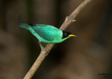 Green Honeycreeper. Panama