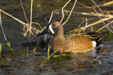 Blue-winged Teal. Horicon Marsh. WI