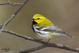 Black-throated Green Warbler. Lake Park, Milwaukee