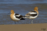 American Avocet. Milwaukee, WI