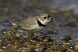 Piping Plover. Grant Park, Milwaukee