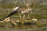 Lesser Yellowlegs. Hustisford, WI