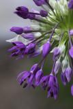 Ail d'ornement (Allium) Purple Sensation