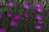 Oeillet de Grenoble / Dianthus gratianopolitanus - Firewitch