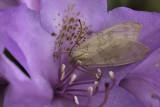 Halisidote du pommier / Banded tussock moth (Halysidota tessellaris)
