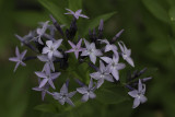 Amsonie bleue / Amsonia 'Blue Ice'