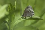 Satyre fauve / Common Ringlet (Coenonympha tullia)