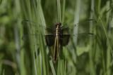 Libellule mélancolique / Widow skimmer female (Libellula luctuosa)