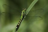 Érythème des étangs / Eastern Pondhawk male (Erythemis simplicicollis)