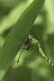 A dragonfly with his prey (a damselfly).