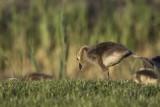 Bernache du Canada / Canada Goose (Branta canadensis)