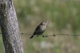 Vacher à tête brune / Brown-headed Cowbird (Molothrus ater)