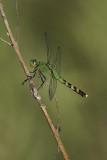 Érythème des étangs / Eastern Pondhawk female (Erythemis simplicicollis)