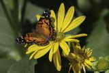 Vanesse de Virginie / American Painted Lady (Vanessa virginiensis