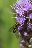 Syrphe / Hover Fly