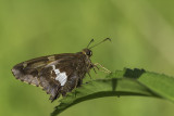 Hespérie à taches argentées / Silver-spotted Skipper (Epargyreus clarus)