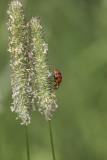 Coccinelle asiatique multicolore / Multicolored asian lady beetle (Harmonia axyridis)