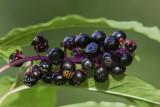 Raisin d'Amérique / American pokeberry (Phytolacca americana)