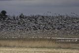 Oies des neiges / Snow Goose (Chen caerulescens)