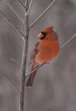 Cardinal rouge / Northern Cardinal (Cardinalis cardinalis)