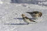 Plectrophane des neiges / Snow Bunting (Plectrophenax nivales)