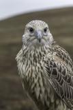 Faucon gerfaut / Gyrfalcon (Falco rusticolus)