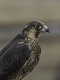 Faucon pèlerin /  Peregrine Falcon (Falco peregrinus)