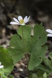 Sanguinaire du Canada / Bloodroot (Sanguinaria canadensis)