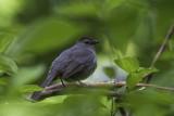 Moqueur chat /Gray Catbird (Dumetella carolinensis)
