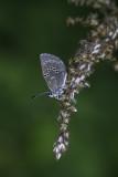 Bleu argenté / Silvery Blue (Glaucopsyche lygdamus)