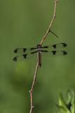 Libellule gracieuse / Twelve-spotted skimmer female (Libellula pulchella)