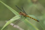 Sympétrum sp. / Meadowhawk (Sympetrum)