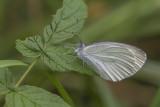 Piéride des crucifères / Mustard White (Pieris oleracea)
