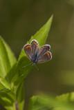 Argus bleu ou azuré commun / Common blue female (Polyommatus icarus)