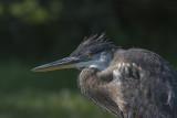 Grand Héron / Great Blue Heron (Ardea herodias)